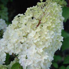 Hydrangea paniculata Diamantino - Hortensia paniculé blanc virant au rose Hydrangea Macrophylla, Hortensia Hydrangea, Stipa, Plantation, Fresco, Landscaping, Fruit, Rose, Hydrangeas