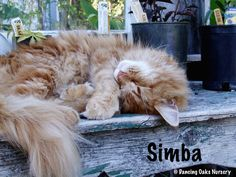 Simba  - The Cats of Dancing Oaks Nursery - DancingOaks.com #gardening #cats #mainecoon