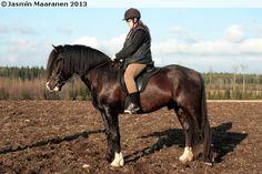 Finnhorse stallion Igor Kuu