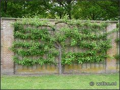 another espalier