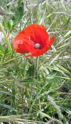 683990b85194 382 meilleures images du tableau Coquelicots et Pavots ~ Poppies   Poppies,  Poppy et Beautiful flowers