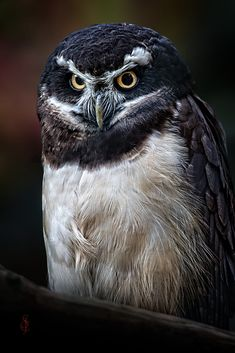 Spectacled Owl (Pulsatrix perspicillata) by Jean-Claude Sch. on 500px