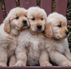 """Get wonderful pointers on """"golden retrievers"""". They are available for you on our… Get wonderful pointers on """"golden retrievers"""". Super Cute Puppies, Cute Baby Dogs, Cute Dogs And Puppies, Cute Baby Animals, I Love Dogs, Pet Dogs, Funny Animals, Dog Cat, Pets"""
