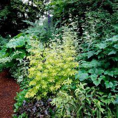 golden meadow rue, anemone, coralbells, big-leaf umbrella plant