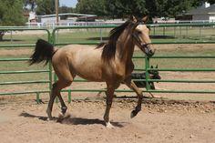 Stallion - Trigger's Lucky Lad