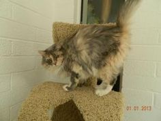 Tango - Trailer Park 28 is an adoptable Maine Coon Cat in Phoenix, AZ. Trailer Park 28. Cats living in cages were rescued from a collector. Every cat and kitten are so very needy for people love and a...