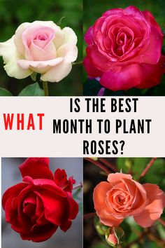 Types Of Species, What Month, Cheap Landscaping Ideas, Types Of Roses, Planting Roses, Garden Plants, Bugs, Garden Design, Farmhouse