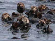 Sitka Sound Sea Otters