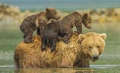 bears riding bear