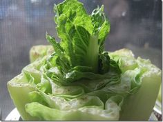 Re-growing Lettuce and other vegetables. You don't need to let parts go to waste.