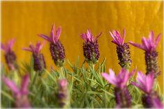 Photograph Lavandula stoechas L. by Vincent  on 500px