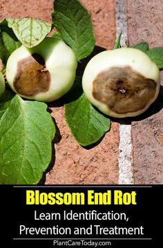 Blossom End Rot what is it, prevention, treatment of a common physiological plant disorder affecting Tomatoes, peppers, squash, cucumbers, zucchini, eggplants, and watermelon [DETAILS]