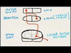 USMLE Step 1 - Upper and Lower Motor Neurons - YouTube