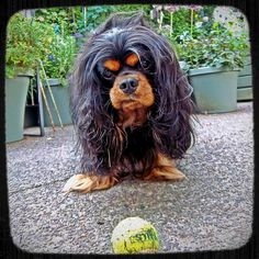 Find Out More On Smart Cavalier King Charles Spaniel Temperament Cavalier King Charles Dog, King Charles Spaniel, Best Dog Breeds, Best Dogs, Cocker Spaniel Dog, Dogs And Puppies, Doggies, Pet Birds, Dog Cat