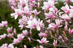 Tulip Magnolia, NH, Spring 2011 | Flickr - Photo Sharing!