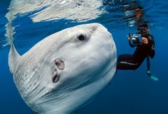 Ocean Sunfish Mola Mola by Daniel Botelho. The Mola Mola is the heaviest bony fish in the world weighing up to and can be as tall as it is long. It eats Jellyfish. Beautiful Creatures, Animals Beautiful, Cute Animals, Fauna Marina, Wale, Underwater Life, Ocean Creatures, Strange Creatures, Tier Fotos