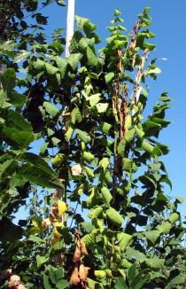 Plants Resistant or Susceptible to Verticillium Wilt Resistant or Immune Susceptible Trees beech hackberry mulberry ash fringe tree Prunus spp. Fringe Tree, Plane Tree, Plant Diseases, Backyard Farming, Edible Plants, Prunus, Dream Garden, Fungi, Pacific Northwest