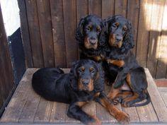 Gordon Setter pups