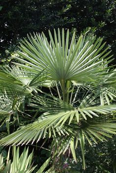 Windmill palm. Trachycarpus fortunei 'Bulgaria'