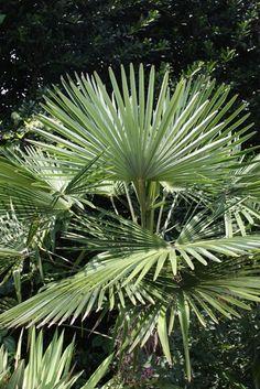 Windmill palm. Trachycarpus fortunei 'Bulgaria'