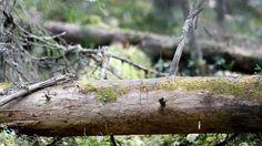 Pirkanmaa sai viime vuonna yhteensä 540 hehtaaria uusia luonnonsuojelualueita Metso-ohjelman rahoituksella.