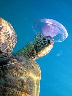 Sea turtle eating a jellyfish