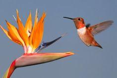 red hummingbird. - Buscar con Google