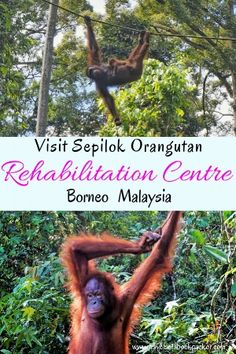 In search of Orangutans in the wild? Read our guiede on everything you need to know for visiting Sepilok Orangutan Rehabilitation Centre in Borneo. Includes prices, times and information for howe you casn help save the orangutangs from extinction. Malaysia Truly Asia, Malaysia Travel, Asia Travel, Kuala Lumpur, Orangutan Sanctuary, Borneo Rainforest, Borneo Travel, Penang, Travel Essentials