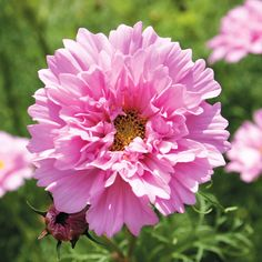Double Click Rose Bonbon Cosmos Flower Seeds...Got it, Park Seed. Annual. Bloom Season: Late Spring - Mid Fall. Plant Height: 4 ft. Plant Width: 24 in. Light Requirements: Full Sun