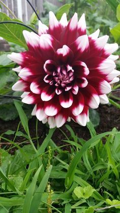 Dalia - My Garden!