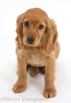 Photograph of Golden Cocker Spaniel puppy, Maizy, sitting and looking up. Rights managed white background Dog image. Golden Cocker Spaniel Puppies, Perro Cocker Spaniel, Black Cocker Spaniel, Golden Puppy, English Cocker Spaniel, Baby Dogs, Pet Dogs, Dogs And Puppies, Pets