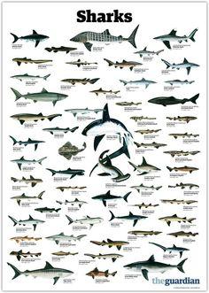 trynottodrown: a few different shark species (full size)- Requin Bleu Shark Bait, Kunst Poster, Marine Biology, Great White Shark, Ocean Creatures, Shark Week, Ocean Life, Marine Life, Under The Sea