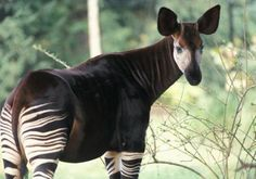"The Okapi (or ""forest giraffe"") is a solitary, giraffe-like mammal found in rainforests of the upper Congo River Basin in central Africa. This nocturnal (most active at night) animal was only discovered by scientists in the early 1900's. Okapi have a life span of 15 to 20 years in captivity."