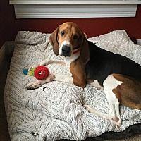Columbus Ohio Treeing Walker Coonhound Meet Doris A For Adoption Https Www Adoptapet Com Pet 20350082 Col Treeing Walker Coonhound Pets Kitten Adoption