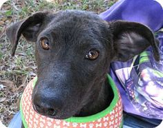 St Petersburg, FL - Italian Greyhound/Labrador Retriever Mix. Meet America, a dog for adoption. http://www.adoptapet.com/pet/12121240-st-petersburg-florida-italian-greyhound-mix