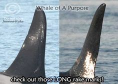 Whale of A 'Purpose': 7-13-15 Who Took a Ride On J34's Dorsal Fin?