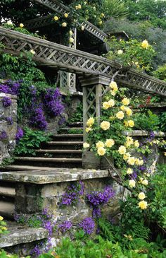 Campanula portenschlagiana growing on stone terracing and steps