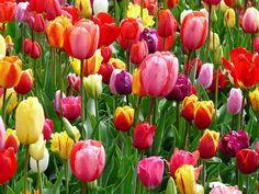 tulppaanit, tulppaani, vuode, värikäs, väri