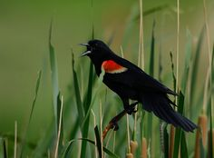 Red-Winged Blackbird | Flickr - Photo Sharing!
