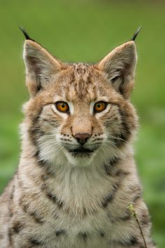 Lynx | Big Cats | Wildcats