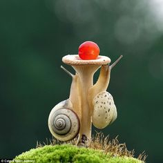 Neck-and-neck: Spiral Shell hauls itself back level, and the unlikeliest of comebacks look. Animals And Pets, Cute Animals, Pet Snails, Bearded Dragon, Animal Photography, Travel Photography, Amphibians, Exotic Pets, Belle Photo