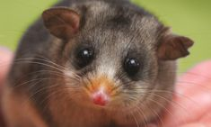 Decline in bogong moth numbers leaves mountain pygmy possums starving Australia Animals, Aboriginal Art, Natural History, The Guardian, Green And Gold, Climate Change, Pet Birds, Habitats