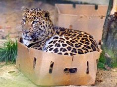 Even wild cats like boxes! -- Probably a leopard or jaguar and definitely a cardboard box.