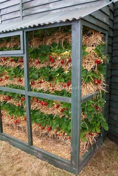 Strawberries Grown in Vertical Tiers in straw, protected from birds and garden pest mammals. Space saving and keeps fruit berries clean.