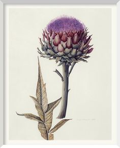 Brigid Edwards - Artichoke (Cynara scolymus) 1989, watercolour on vellum 36 x 26 cm