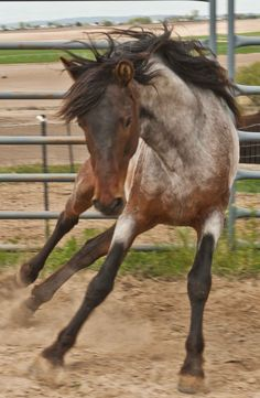 Barb stallion
