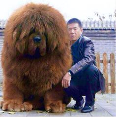 Tibetan Mastiff - want this massive, cuddly, teddy bear doggie! ♥ For some reason, I like dogs that are either very tiny, or totally huge. Not so much on average or in-between. Funny Animal Pictures, Cute Funny Animals, Cute Baby Animals, Dog Pictures, Funny Dogs, Animals And Pets, Silly Dogs, Huge Dogs, Giant Dogs