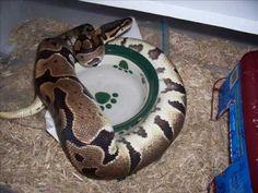 How I Breed Ball Pythons