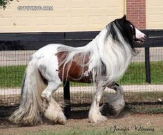 Gypsy Vanner Horse. Dazzling Bobby.  Incredible mane  tail!