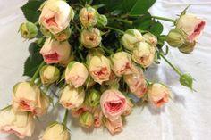 Blushing Parisol Spray Roses